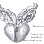 Early History of the Prostate